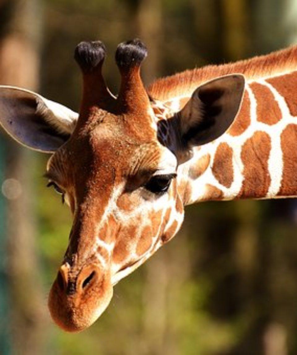 uschinatrip.com-africa-giraffe