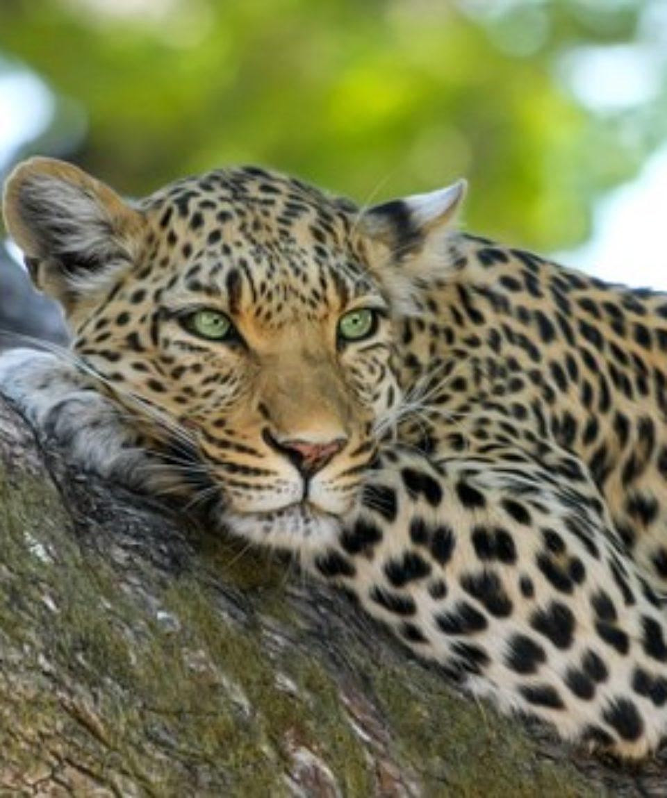 uschinatrip.com-africa-leopard