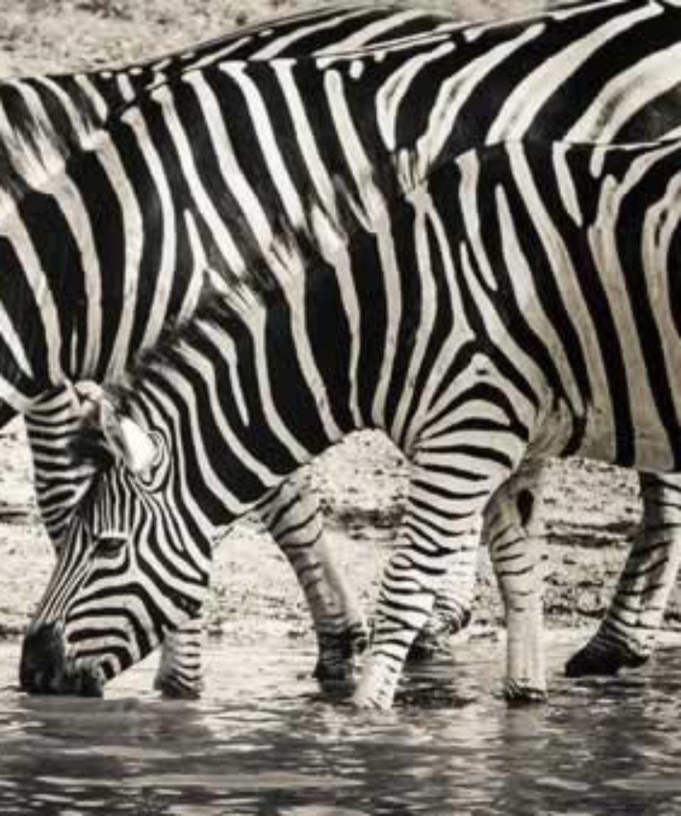 uschinatrip.com-africa-zebra