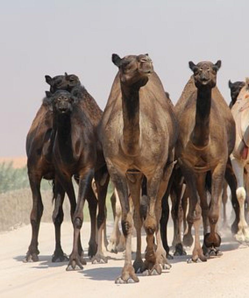 uschinatrip.com-egypt-camel-4028587__340